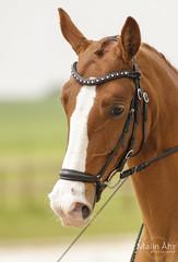 Nr. 20 (malinahr) Tags: horse color nature animal sport skne outdoor natur sterlen djur hst tvling skillinge