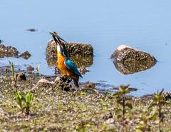 Kingfisher-1-2 (worlknut) Tags: birds fishing vibrant wildlife flash kingfisher pennington songbirds