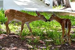 The Greeting (bmasdeu) Tags: kids fawns greeting deer keydeer keys thekeys nationalpark florida wildlife