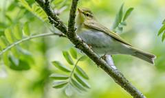 JWL8564 Wood Warbler.. (jefflack Wildlife&Nature) Tags: nature birds forest countryside woodlands wildlife avian warbler songbirds wildbirds warblers woodwarbler