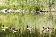 Geese up the Humber (jer1961) Tags: green geese goose humber humberriver