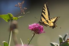 Butterfly (lenswrangler) Tags: lenswrangler digikam rawtherapee butterfly summerholidays berkeley marina flower outdoor plant animal insect wing nectar papiliorutulus papilio westerntigerswallowtail flickrfriday