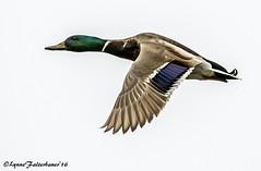 mallardflight2 (lfalterbauer) Tags: nature canon duck inflight mark wildlife flight whitebackground ii 7d doylestown mallard aquatic avian anasplatyrhynchos birdwatcher peacevalleypark