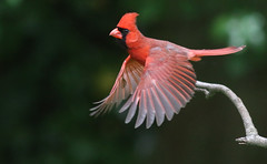 We Have Lift Off (Family Man Studios) Tags: nature colors birds canon spring cardinal wildlife delaware newark newarkdelaware backyardbirds 70d delawareonline dougholveck
