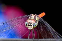 DragonFly_7 (whisky sierra) Tags: dragonfly flyinginsect smallinsect