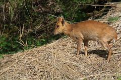 Itchy leg (paul.taylorptct) Tags: leg lakes deer itchy muntjac lackford