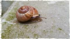 Snail in rhe rain (noisy__nisroc) Tags: garden insect snail mobil