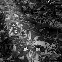 Sun Rays (Guanajuato, Mxico. Gustavo Thomas  2016) (Gustavo Thomas) Tags: flowers light blackandwhite naturaleza sun sunlight flores blancoynegro sol nature monochrome mxico fleurs soleil guanajuato rays bnw rayos monocromtico luzdesol