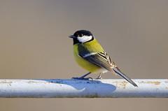 Cinciallegra (bruno_colombi1) Tags: italy colore natura uccelli inverno ramo uccello volare cinciallegra cinciallegre posata cinciallegracinciallegreuccellouccelliposataramo volarecolorenaturainverno