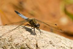 Odonata (I.G.+) Tags: tamron 70200 d600