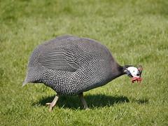 Fowl! (Karls Kamera) Tags: guinea fowl peck lawn bird