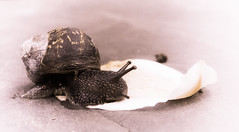 This is no ordinary love (babs van beieren) Tags: animal sticky snail petal lovestory coseup