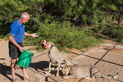 Rescued Cheetah at the Quivertree Forest Rest Camp (robsall) Tags: africa camp vacation cat canon mammal big feline lodge bigcat cheetah canon5d endangered predator namibia canoneos bigcats karas cheetahs carnivore vulnerable 24105 2015 threatened 24105f4isusm canon24105mm quivertreeforest canon24105f4isusm acinonyxjubatusjubatus quivertreeforestcamp largefelines southafricancheetah namibiancheetah canon5dmarkiii 5dmarkiii 5dm3 quivertreeforestrestcamp 5dmark3 southafricancheetahs 5dmiii canon5dm3 canoneos5dm3 robsallphotography vulnerablethreatened quivertreeforestlodge
