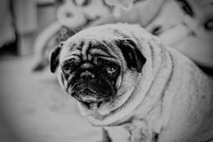 Old Soul (grinsekatze1983@live.de) Tags: blackandwhite dog animal friend pug hund oldie haustier sadface schwarzweis characterface