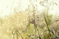 Meadow Magic (ursulamller900) Tags: grass morningdew bokeh pentacon28100