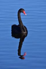 Black Swan (Luke6876) Tags: reflection bird water animal swan wildlife blackswan australianwildlife