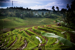Bali Indonesia: Ubud, Monkeyforest, Ricefields,Tirta Empul Temple (IRIS DE KONING PHOTOGRAPHY) Tags: travel bali water forest indonesia temple monkey volcano spring asia lot temples sacred tirta empul ricefields nusa sacrifice ubud lovina batur tanah balinese penida angun lembonang