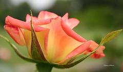 28-060627 Hannover Stadtpark 080 (hemingwayfoto) Tags: blhen blte blume facebbok garten park pflanze rose stadtpark