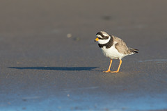 Ringed plover (twodeeswildlife) Tags: shadow bird beach canon sand worm wader ringedplover charadriushiaticula cwtiadtorchog