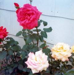 1976-06-20 Roses 2 (JoeSeliske) Tags: wedding ontario london church june st john paul catholic roman divine 19 rc 1976 raisa seliske