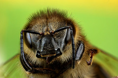 Bee stacking (Little Boy 09) Tags: macro canon lens eos venus flash super stack slider 17 stacking reversed 50 tamron f28 mag objectif velbon invers 60d tamronspaf1750mmf28xrdiiildasphericalif macrodream kx800