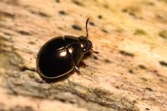 Kroglasti hro (natalija2006) Tags: nature forest moss beetle slovenia pill coleoptera auratus gozd narava hro elateriformia byrrhidae hroi byrrhoidea pedilophorus kroglasti