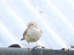 P2400770c Late #Dunnock . !! .  Uncommon visit (of/by one of the 'family'(!?FAMILIES?!) to our shed roof .. (Erniebobble *~* HappyHolyWeek2018! *~*) Tags: roof portrait brown blur bird eye feet nature lines silhouette metal contrast season grey wings focus soft pattern looking bright feeding background wildlife tail watching profile shed beak peaceful birdsong dunnock surface cheeky pale edge ledge late redeye balance beyond perched hunter resting gutter unusual fading newforest tranquil alert linger corrugated avian upon gentle divide songbird biodiversity unseen feathered insecteating plumage textural 2016 behaviour springwatch harmonious breedingseason gardenbird wildlifegarden seedeater unsprung chrispackham woodlandbird erniebobble aviansongster