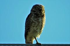 Balancing Act (Patricia Henschen) Tags: ranch bird birds colorado owl coloradosprings burrowingowl burrowing coloradospringscolorado pueblocounty elpasocounty hanoverroad chicobasinranch