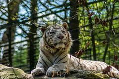 Beauval-6 (leroypierrick) Tags: france loiretcher centrevaldeloire zoodebeauval saintaignan tigreblanc