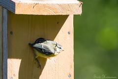 Oops. Carefull now. (Suvi Heinonen) Tags: bluetit chick birdhouse leaving million birdhouses finland