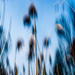 bleu e (zventure,) Tags: abstract france nature square dawn couleurs turquoise danse bleu arbres extrieur impression roseaux fort icm flou bois lignes flore carr fleuve fil abstrait aube alpesmaritimes herbes buissons saintlaurentduvar arbustes hautelumire fleuvecotier bordsduvar zventure