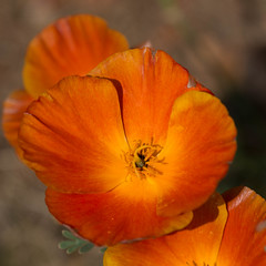 Eschscholzia californica (peter_paul52) Tags: sachsen weinberg papaveraceae