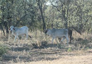 Bos taurus indicus (Brahman Cattle)