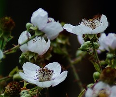 Blackberry blossom (Lord Cogsby) Tags: blackberry blossom