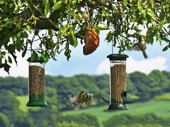 Straighten up and fly right! (Darling Starlings Flying the Nest) Tags: birds garden countryside flying wings feeders bluetits sunflowerhearts wingwednesday