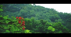 Delonix regia. (Jukai The Pilgrim) Tags: world city flowers blue light red wild sky plants naturaleza sunlight white flower tree green nature colors yellow forest dark landscape hongkong grey flora outdoor hiking earth sony royal peaceful national plantae cinematic flamboyant regia poinciana delonix mirrorless a6000 emount selp18105g ilce6000