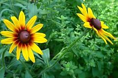 Rudbeckia (ali eminov) Tags: rudbeckia floweringplants