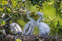 Great Egret Chicks (Bill Varney) Tags: two white tree nest florida bokeh outdoor wildlife great wetlands chicks egret rookery billvarney