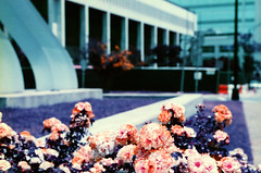 Uptown Flowers (hpaton1) Tags: film analog purple charlotte canonef2470mmf28l canoneos1v lomochrome
