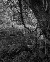 Tree and Ferns (Hyons Wood) (Jonathan Carr) Tags: bw white abstract black tree backlight rural landscape 4x5 100 abstraction ferns rodinal northeast largeformat toyo 5x4 fomapan standdevelopment