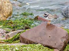 Ringed Plover (Mac ind Óg) Tags: summer holiday bird walking scotland shore plover gairloch westerross ringedplover strath charadriushiaticula
