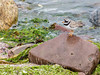 Ringed Plover (Mac ind Óg) Tags: summer holiday bird walking scotland shore plover gairloch westerross ringedplover strath charadriushiaticula