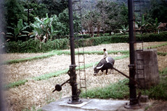 32-121 (ndpa / s. lundeen, archivist) Tags: winter people color fall film field animal rural 35mm countryside village nick taiwan ox riding 1970s 1972 hualien 32 taiwanese eastcoast dewolf rurallife aboardatrain travelingbytrain republicofchina onatrain easterncoast viewfromatrain easterntaiwan nickdewolf photographbynickdewolf hualiencounty ridingonatrain reel32 viewfromapassingtrain takenfromaboardapassingtrain