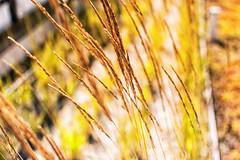 Grass or whatever (pillarsoflight) Tags: city brown black apple beauty yellow oregon 35mm portland prime aperture nikon imac dof pavement adobe pacificnorthwest pdx shallow railing pnw sandisk lightroom crop apsc d3300 sensor shotonsandisk