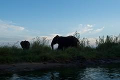 Zambia_  20162016-05-0216-34-34 (C_Baltrusch) Tags: elephant christian safari afrika elefant zambia sambesi selfdrive sambia zambeziriver baltrusch