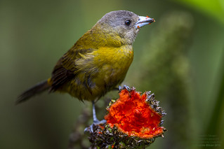 Passerini's Tanager Female (Ramphocelus passerinii) La Selva, Costa Rica 2016