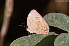 546.jpg (laba laba) Tags: africa macro nature closeup butterfly insect rainforest kala cameroon cameroun vulgaris yaounde bicyclus bicyclusvulgaris montkala