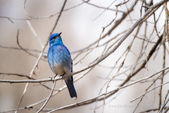 Bluebird in Tree Branch (Free Roaming Photography) Tags: blue usa west tree male bird animal season nationalpark spring branch wildlife branches cottonwood western perch northamerica perched bluebird wyoming grandteton jacksonhole grandtetonnationalpark cottonwoodtree rockymountainbluebird
