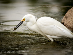 Egret catching a snack (Rick Smotherman) Tags: park nature water birds canon outdoors morninglight spring fishing pond feeding may overcast 7d runningwater forestpark cloudysky canon300mmf4l canon7d canon14teleconverter