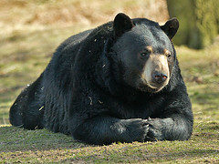 IMG_0179a (Chris-the-falconer) Tags: bear blackbear